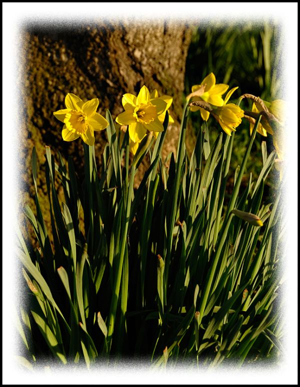 Daffodils blooming in February at Green Lake.