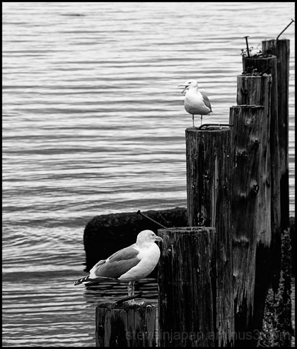 Gulls along Ruston Way.