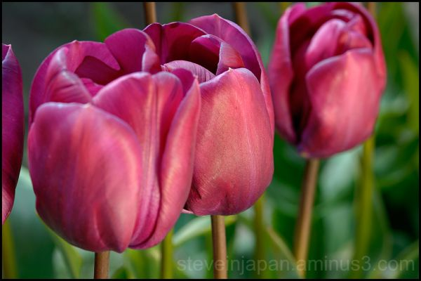 Purple tulips in Skagit Valley, WA, USA.