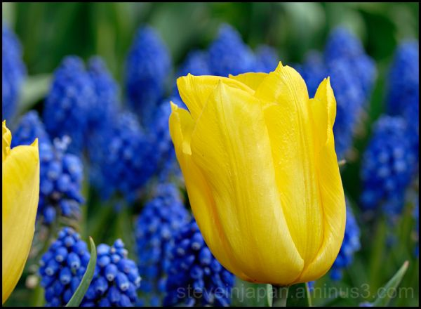 Yellow tulips in Skagit Valley, WA, USA.
