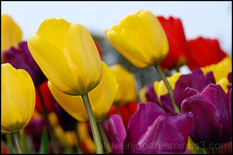 Tulips in Skagit Valley, WA, USA.