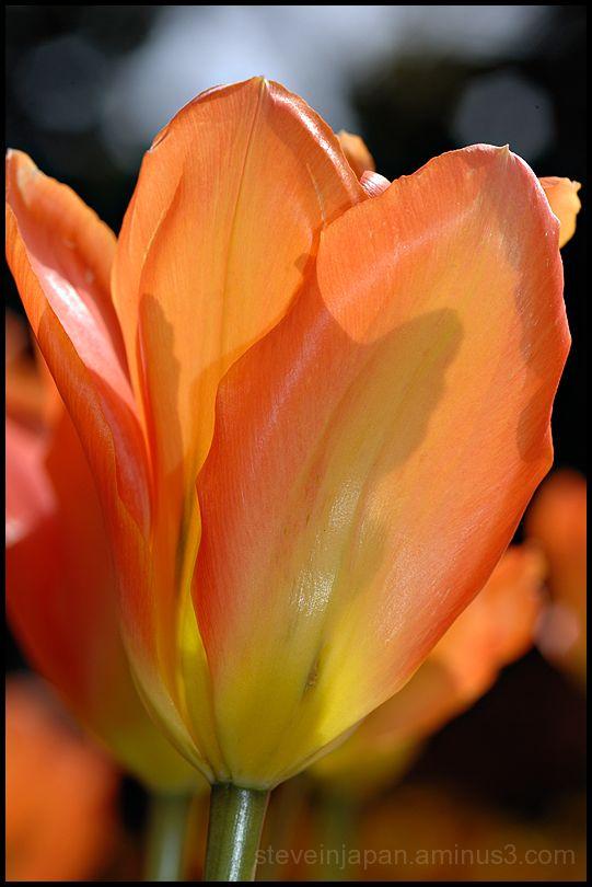An orange tulip in Skagit Valley, WA, USA.