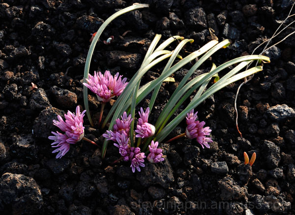 Wild Onion at Craters of the Moon NM.