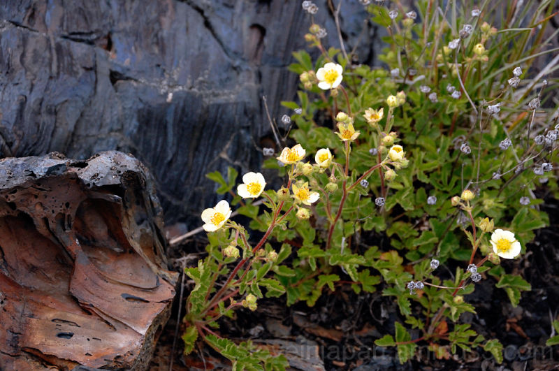 A Gland Cinquefoil growing at Craters of the Moon.