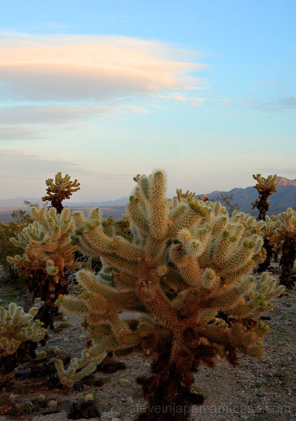 The Cholla Cactus Garden in Joshua Tree NP.
