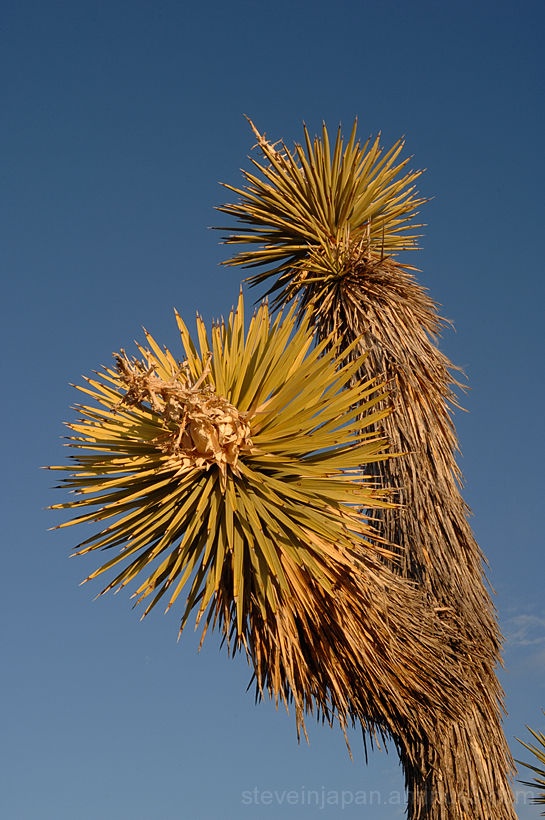 The dagger-like leaves of a Joshua Tree.