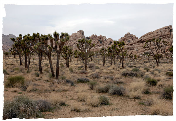 Joshua trees in Hidden Valley.