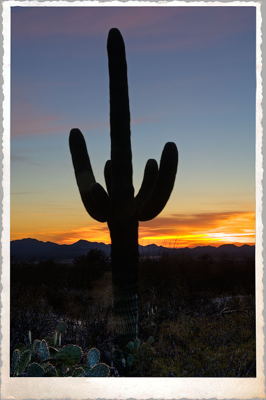 A Saguaro at sunset.