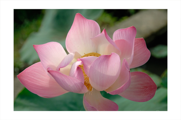 A Lotus blooming in Bali.