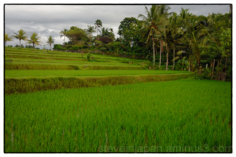 A rice field walk in Ubud, Bali.