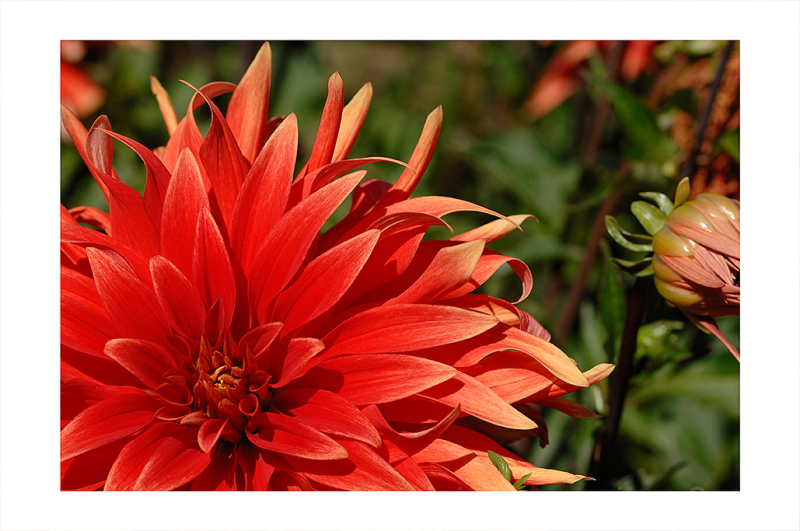 A red dahlia.