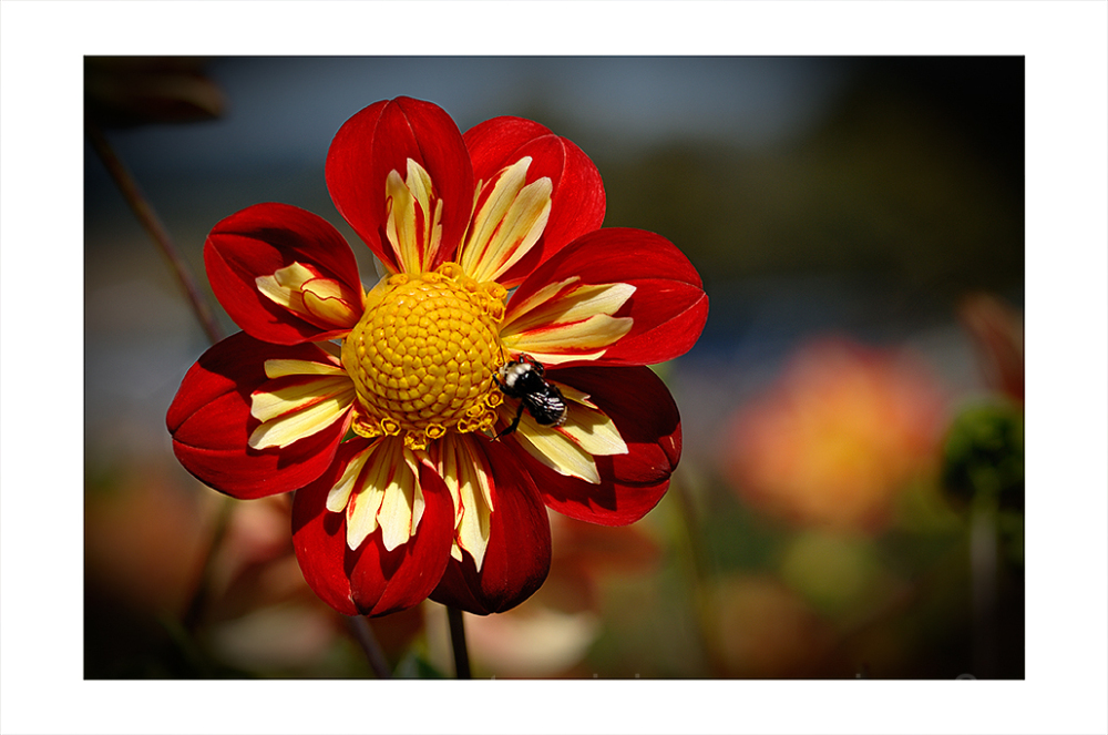 A red, wheel shaped dahlia.