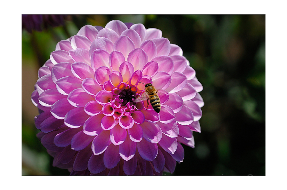 A purple, button shaped dahlia.