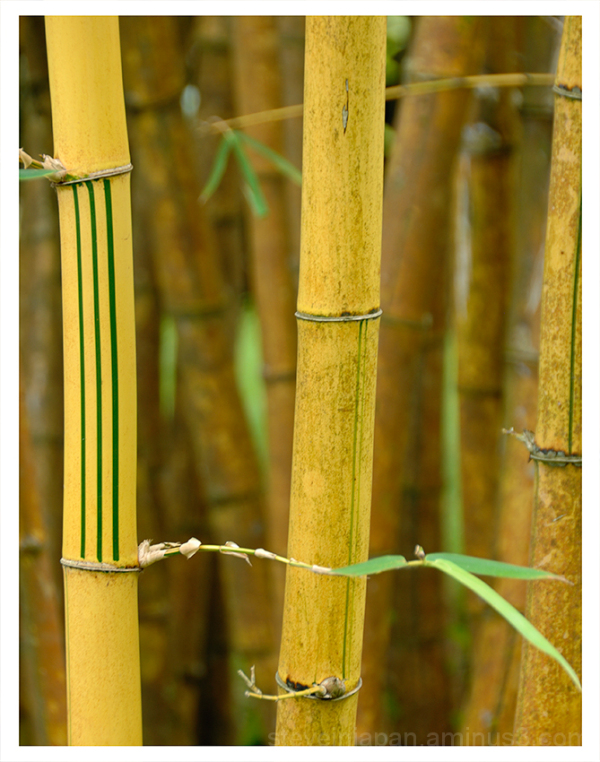 Bamboo at the Singapore Botanic Gardens.