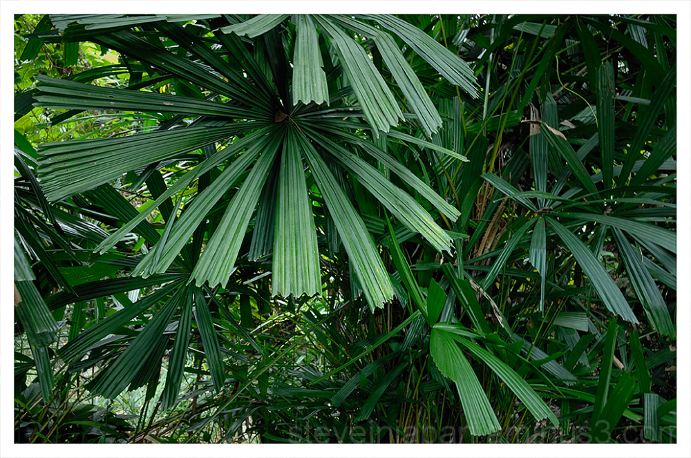 Interesting tree at the Singapore Botanic Gardens.