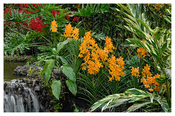 Orchids at the Singapore Botanic Gardens.