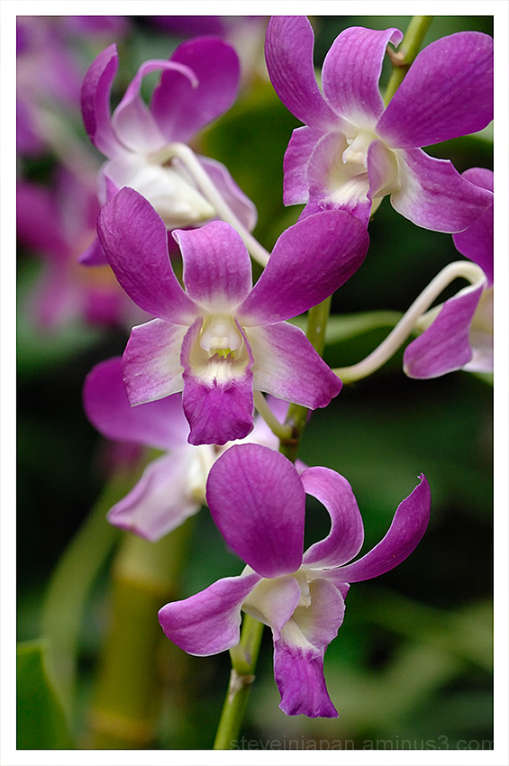 Orchids at the Singapore National Orchid Garden.