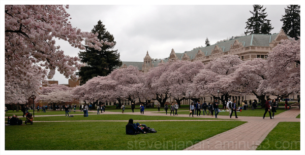 Cherry blossoms at the University of Washington.