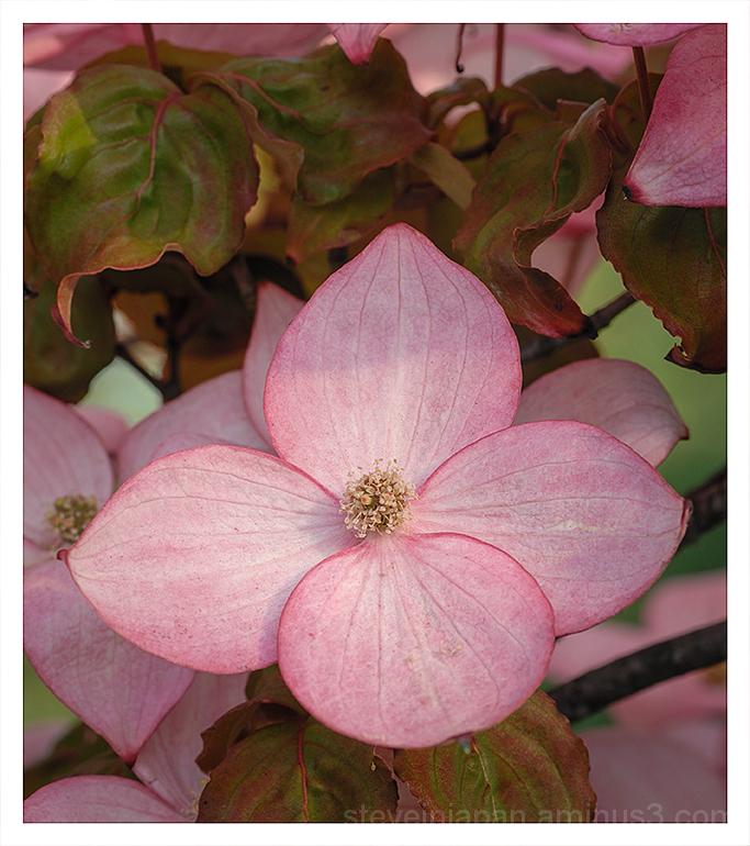 A Pink Dogwood blossom.