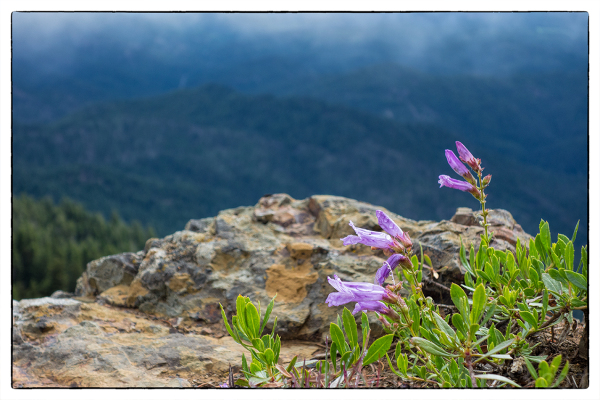 A Cascade Beardtongue on Red Top Mountain.