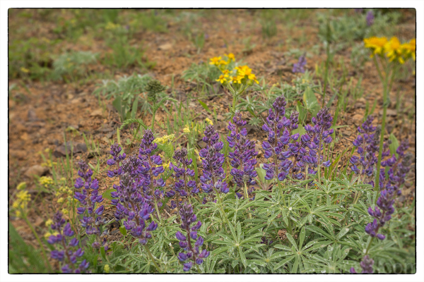 Lupins on Red Top Mountain.