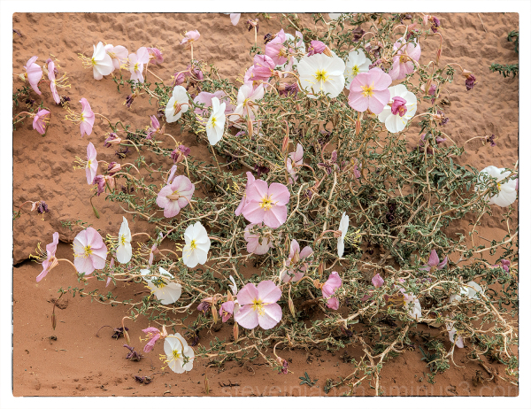 Pale Evening Primrose in Capitol Reef NP.
