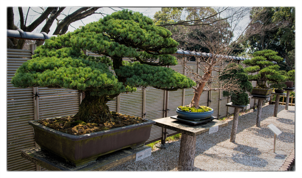 Bonsai at the Hiroshima Botanical Garden.