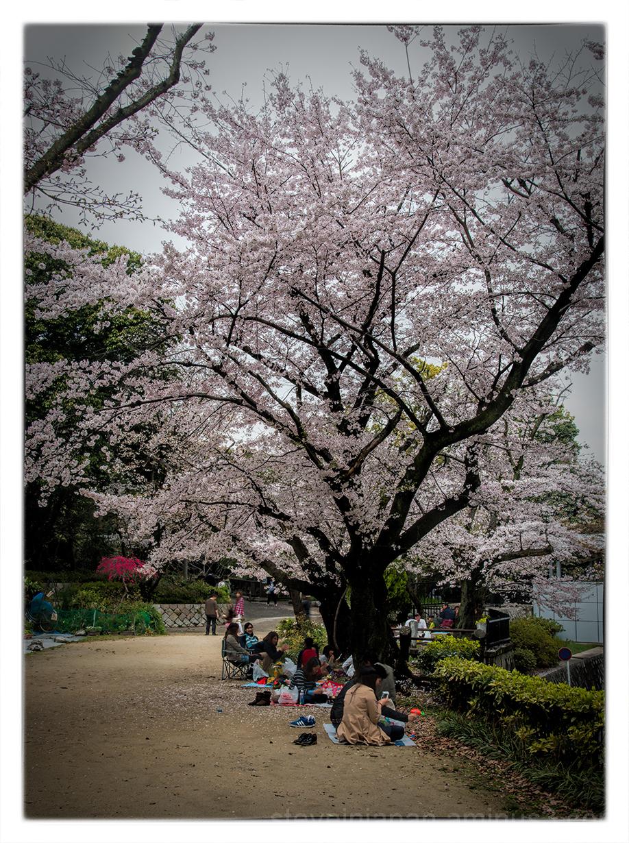 Sakura at Hijiyama Park in Hiroshima.