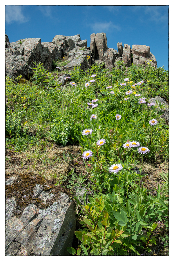 Subalpine Fleabane on Silver Star Mtn.