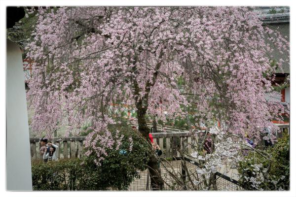 A weeping cherry tree on Miyajima.