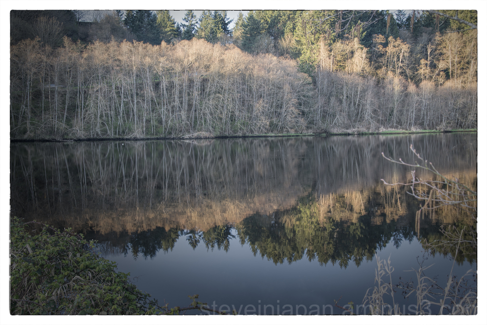 Alder trees at Capitol Lake in Olympia, WA.