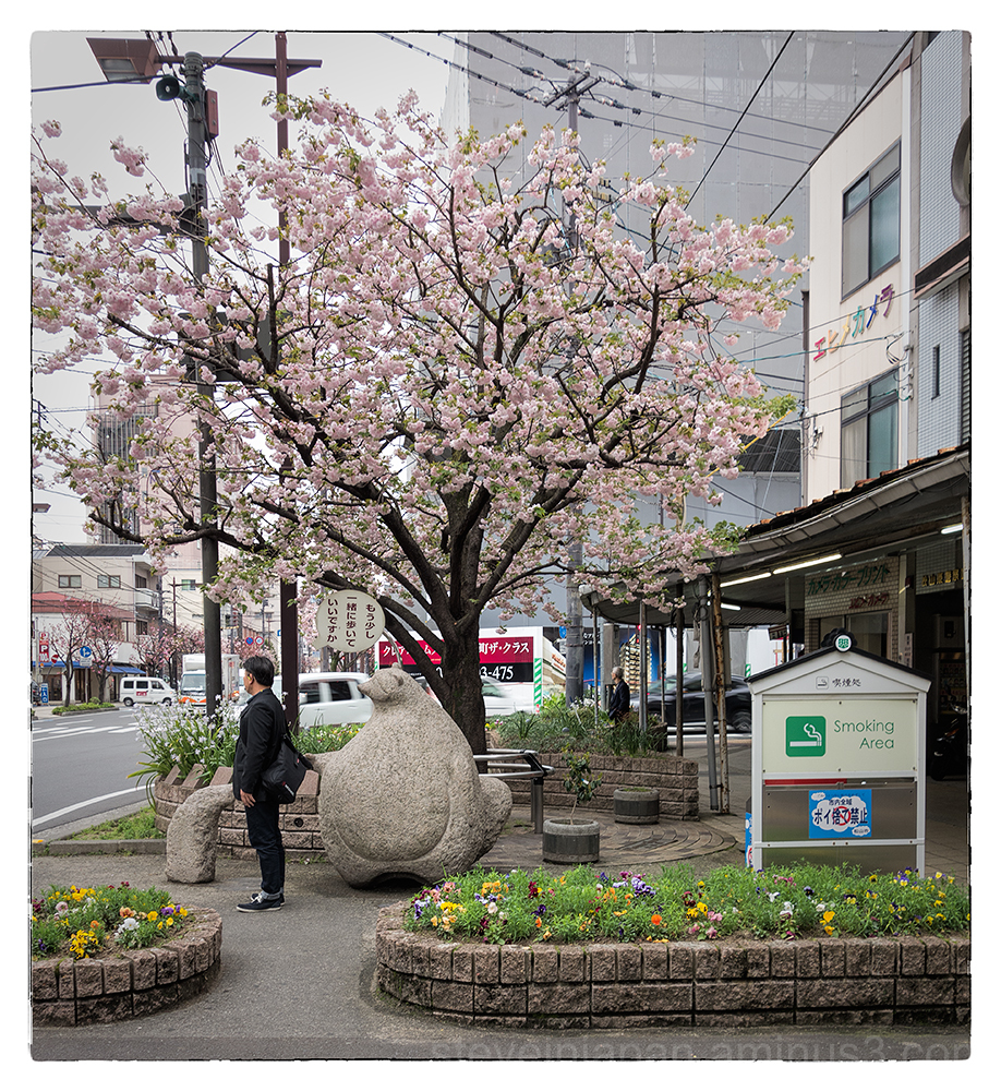 A beautiful cherry tree in downtown Matsuyama, JP.