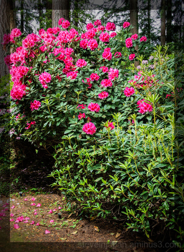 Rhodies in the backyard.