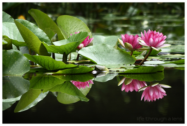 the lotuses of Heian shrine: IV/IV
