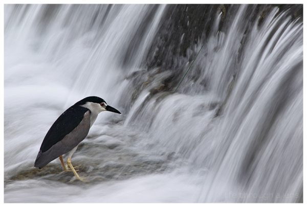 Kyoto's city centre wildlife: Night Heron