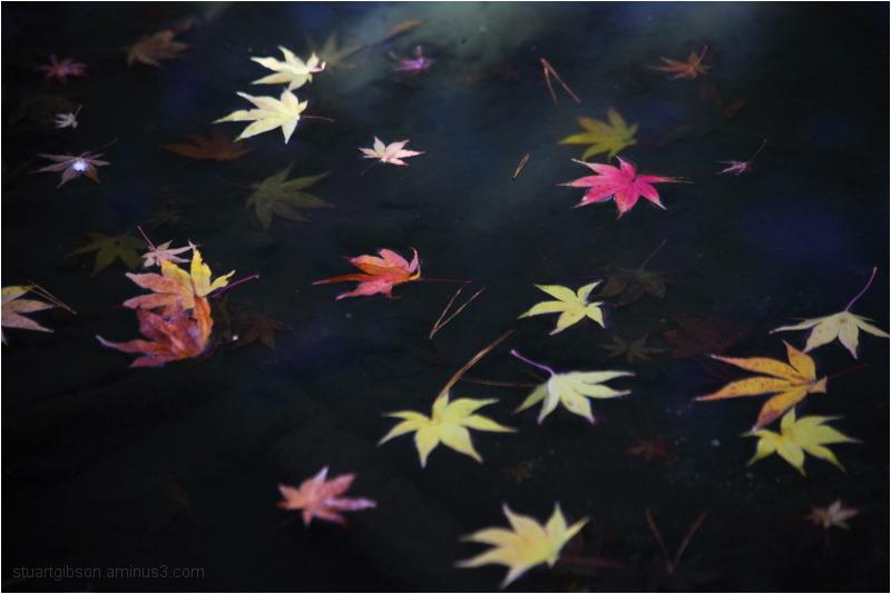 fallen maple