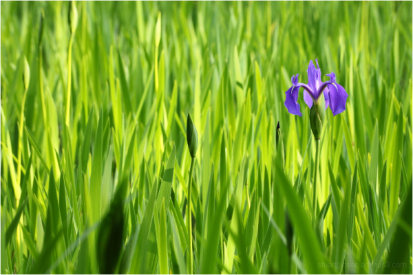 A single Iris blooms in a sea of green