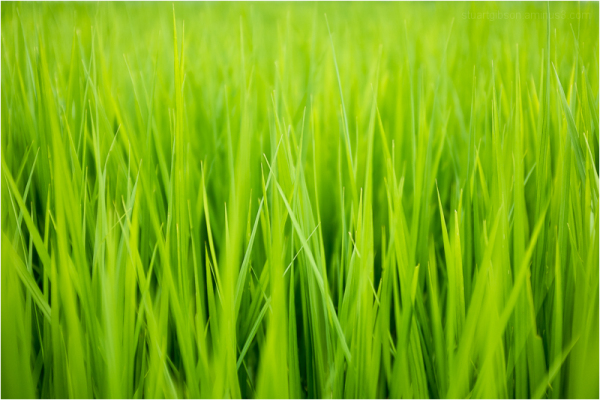 blades of rice