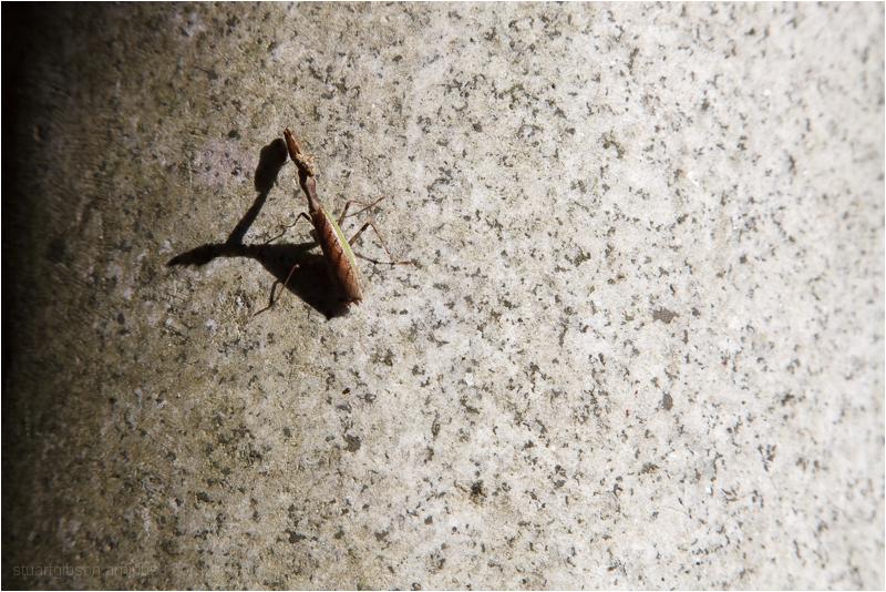 profile of a mantis