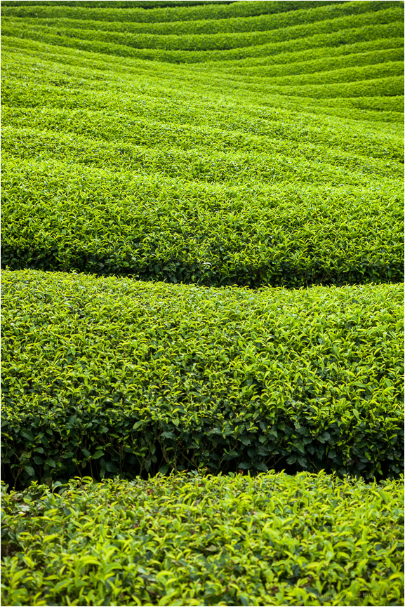 the green tea of Wazuka town