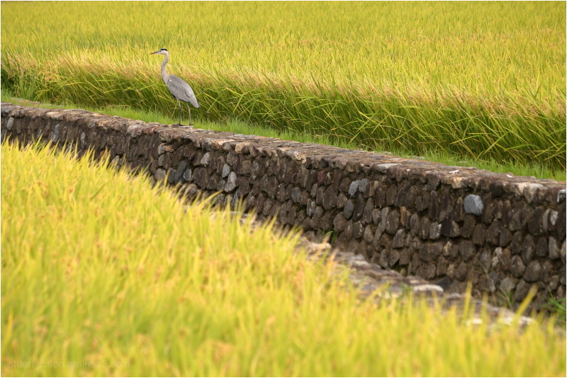 on the hunt in the rice