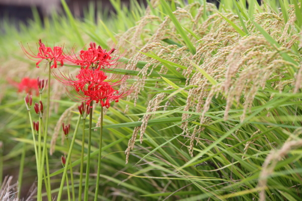 Higanbana 彼岸花 - Red Spider Lilly