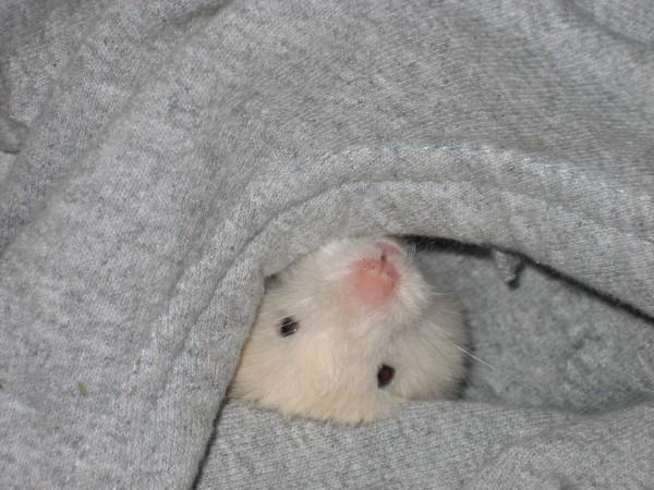 Skuzzball syrian hamster hides cute hamtastic