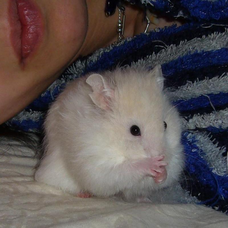 Skuzzball syrian hamster grooming cute hamtastic