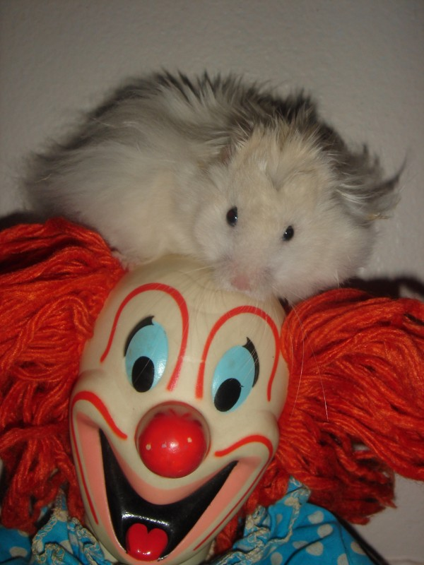 Skuzzball hamster climbs clown cute hamtastic