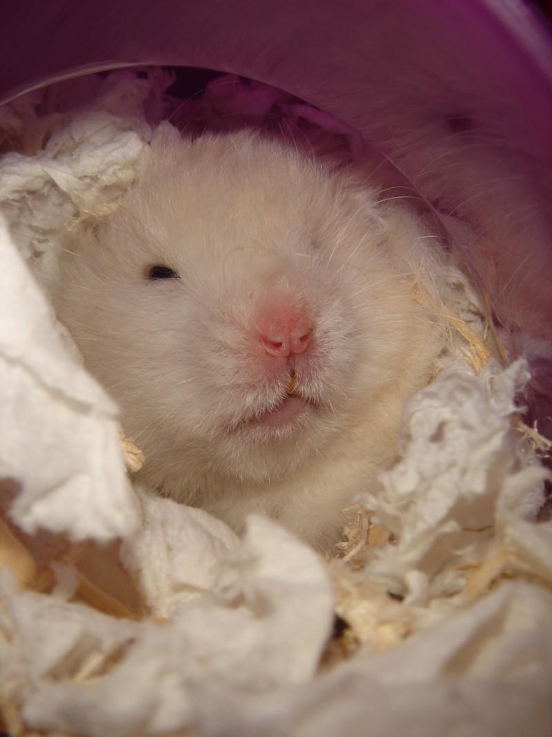 Skuzzball hamster climbs around cute hamtastic