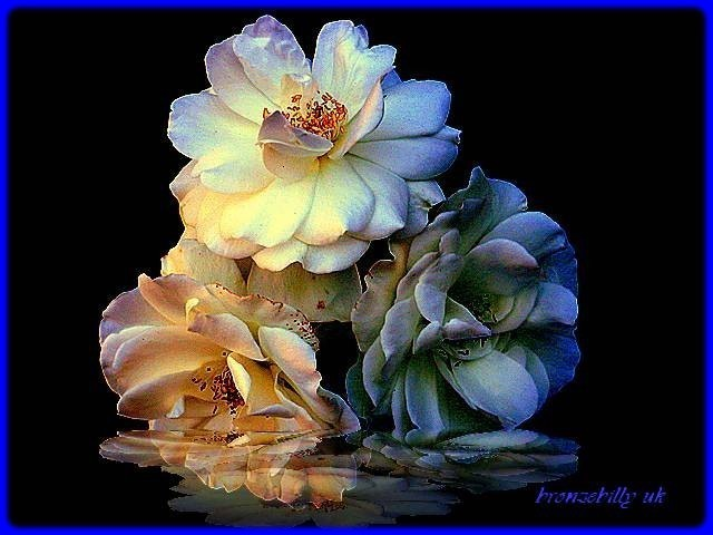 rose reflection on water