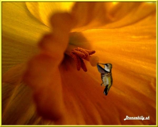 pollen macro daffodil