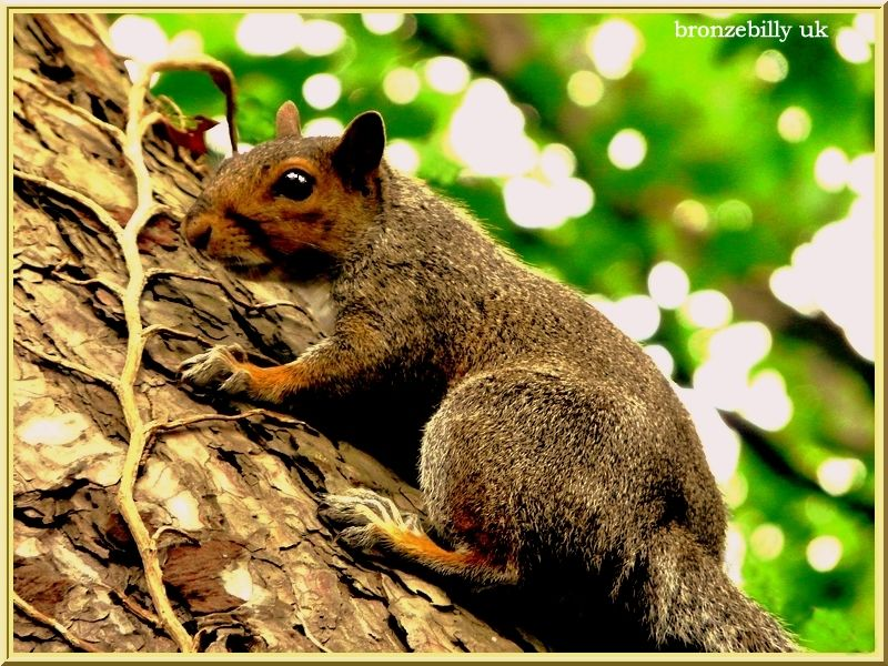 tree squirrel bronzebilly