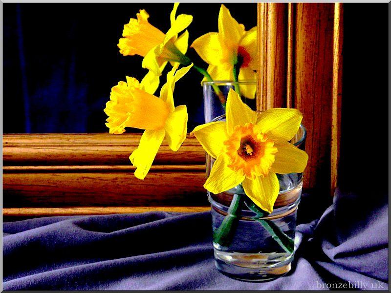 st davids day daffodils Wales bronzebilly..